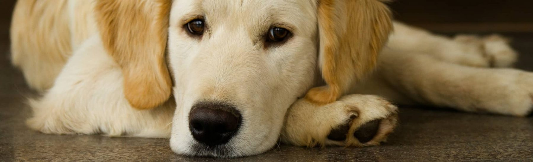 Dog Heartworm Test